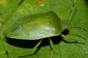 Chinche verde hedionda