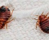 Chinches: información sobre las chinches de cama